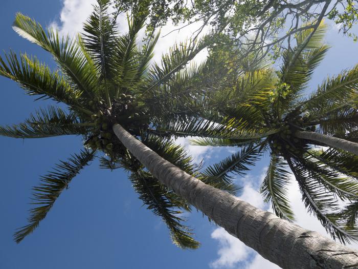 斐济 旅行家 吴心耘 椰子树可以称上是斐济的国树;椰子汁可以喝,椰子